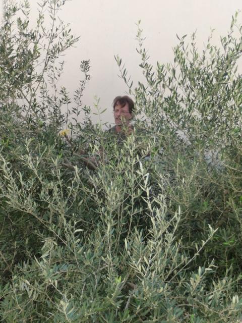 john-pack-olive-tree1